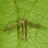A crane fly laying on a green leaf